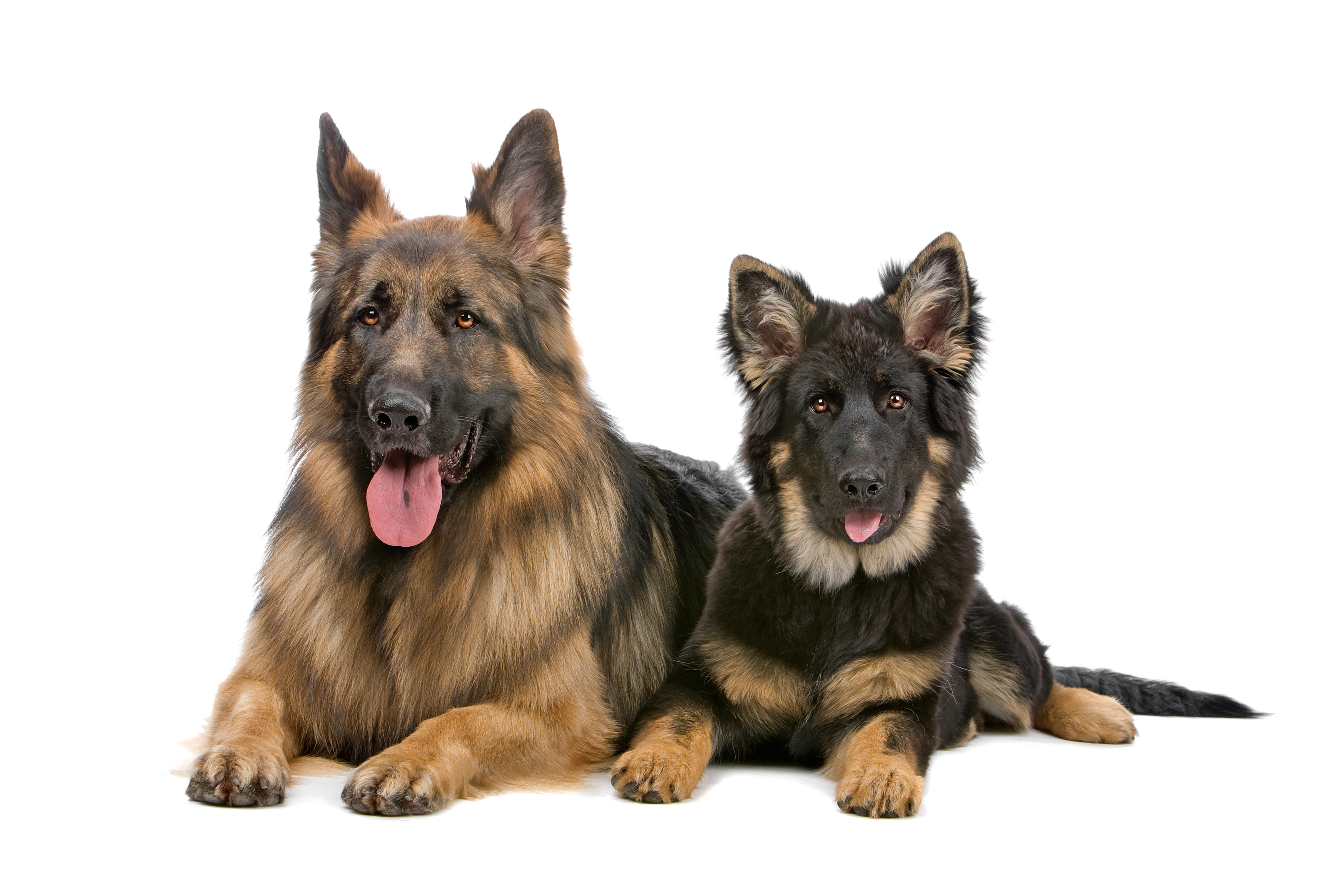 German Shepherd adult and puppy lying down in front of white background