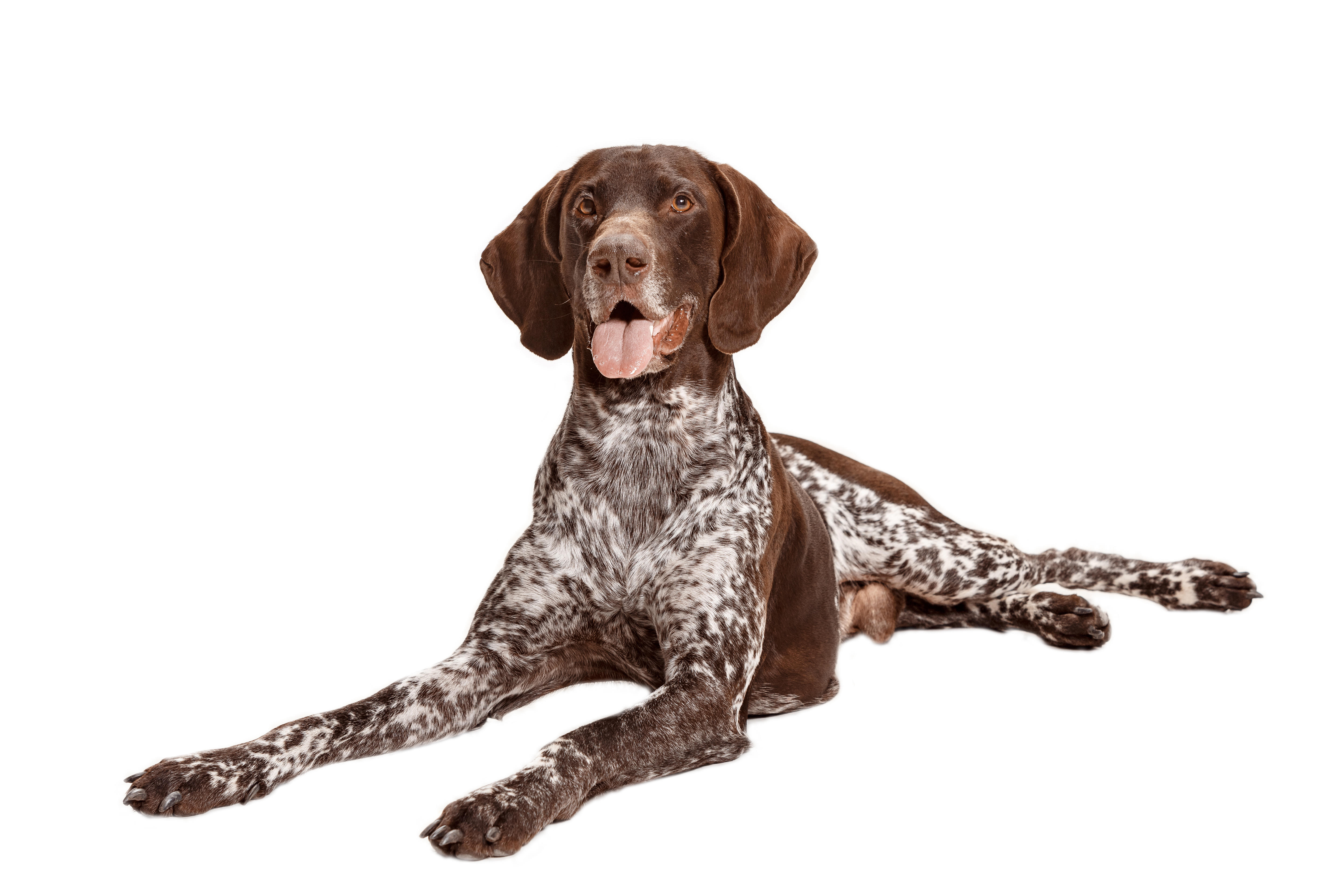 German Shorthaired Pointer lying down in front of white background