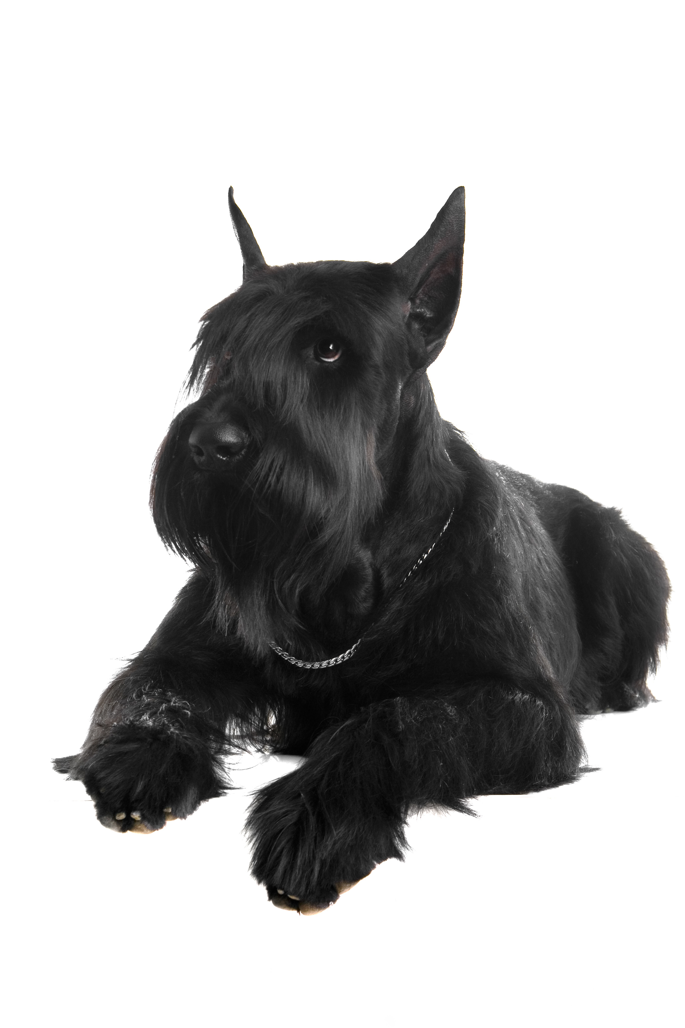 Black Giant Schnauzer lying down in front of white background