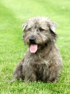A gray-brown Glen of Imaal Terrier sitting in the grass