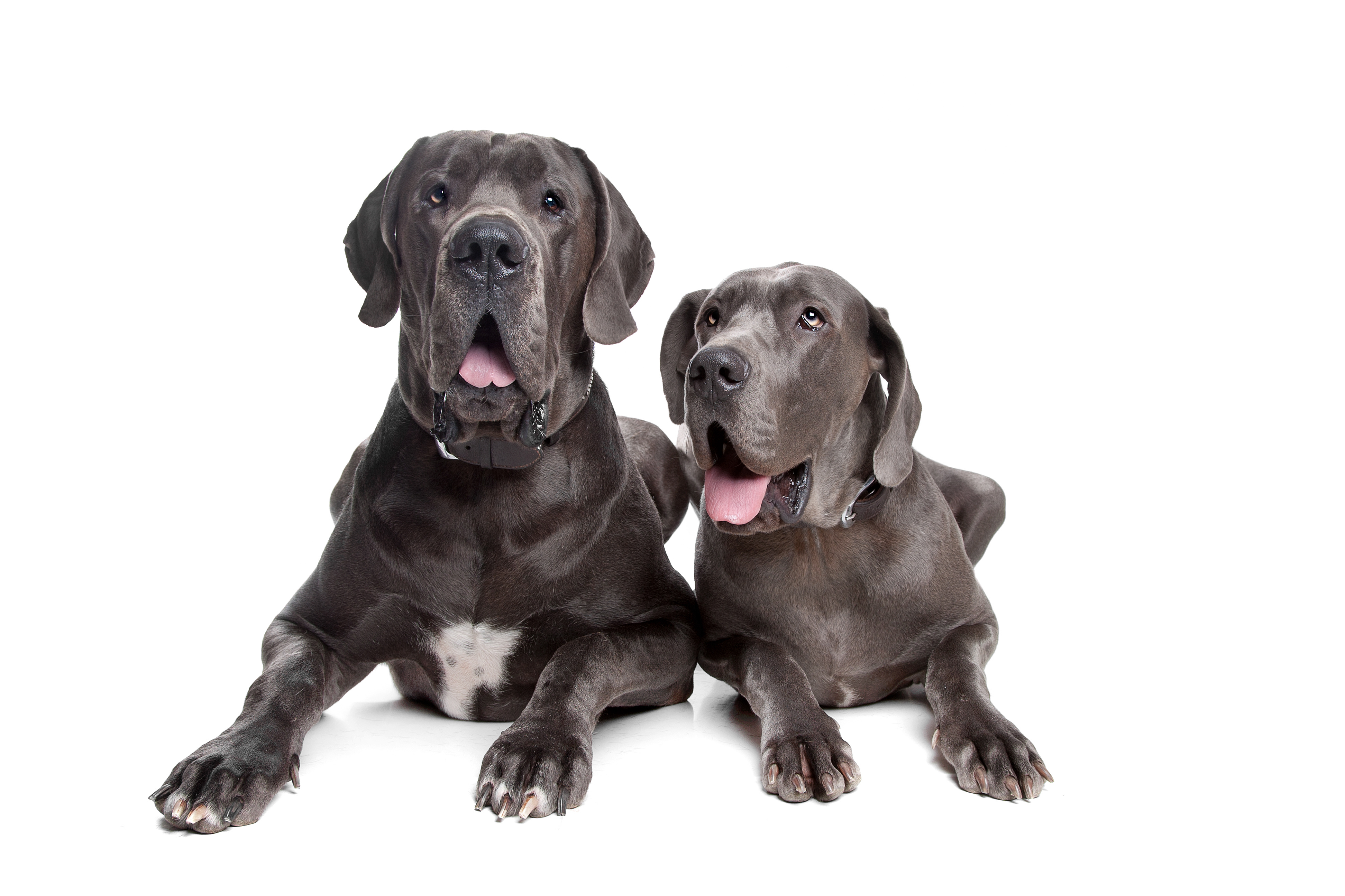 Two Great Danes lying down in front of a white background