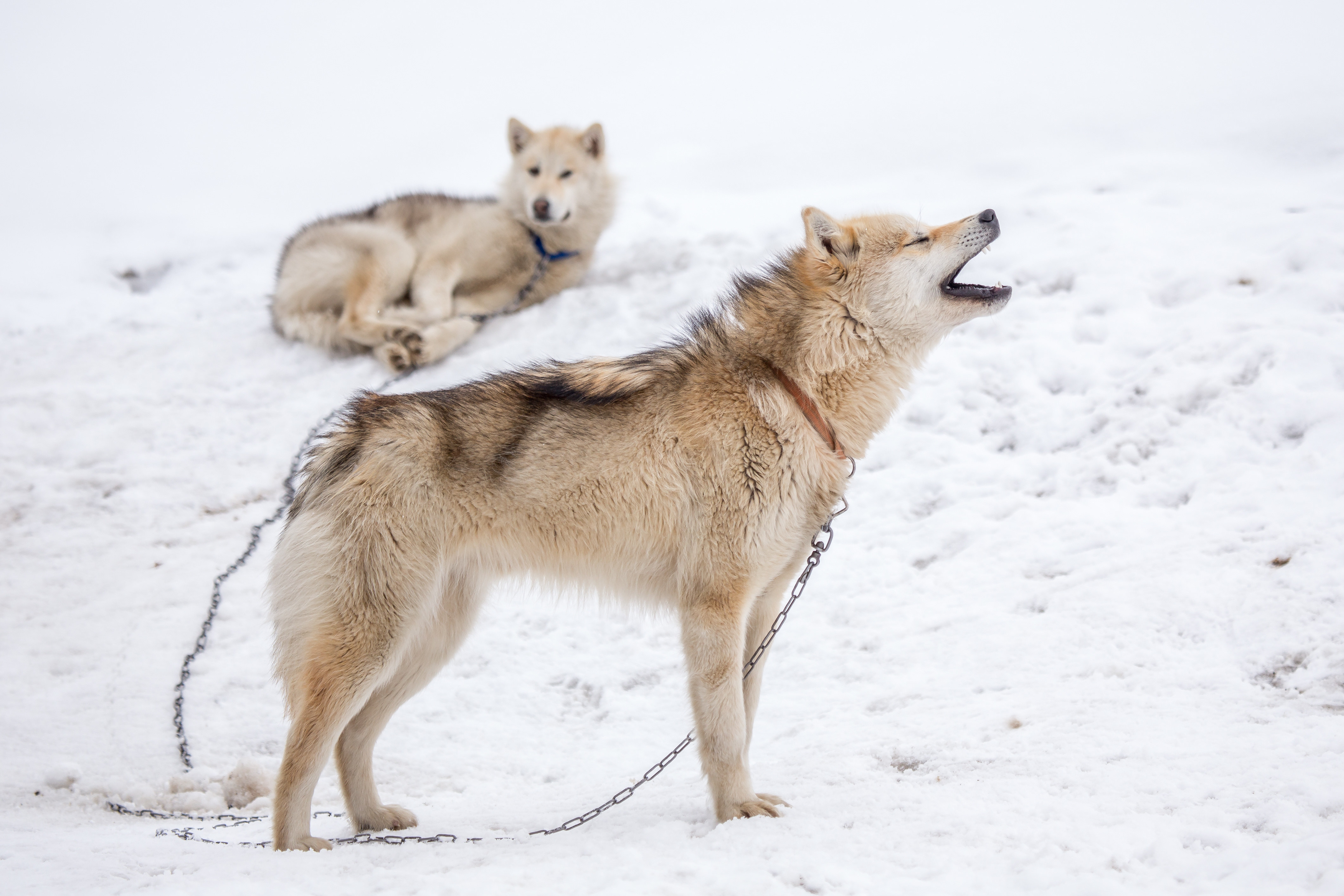 Two Greenland Sledge Dogs in the snow- one is howling and the other is lying down