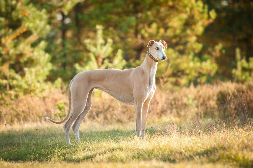 Greyhound standing in grassy yard in front of forest.