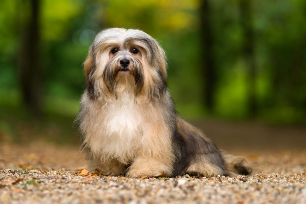 Brown Havanese dog sitting on gravel path in the forest