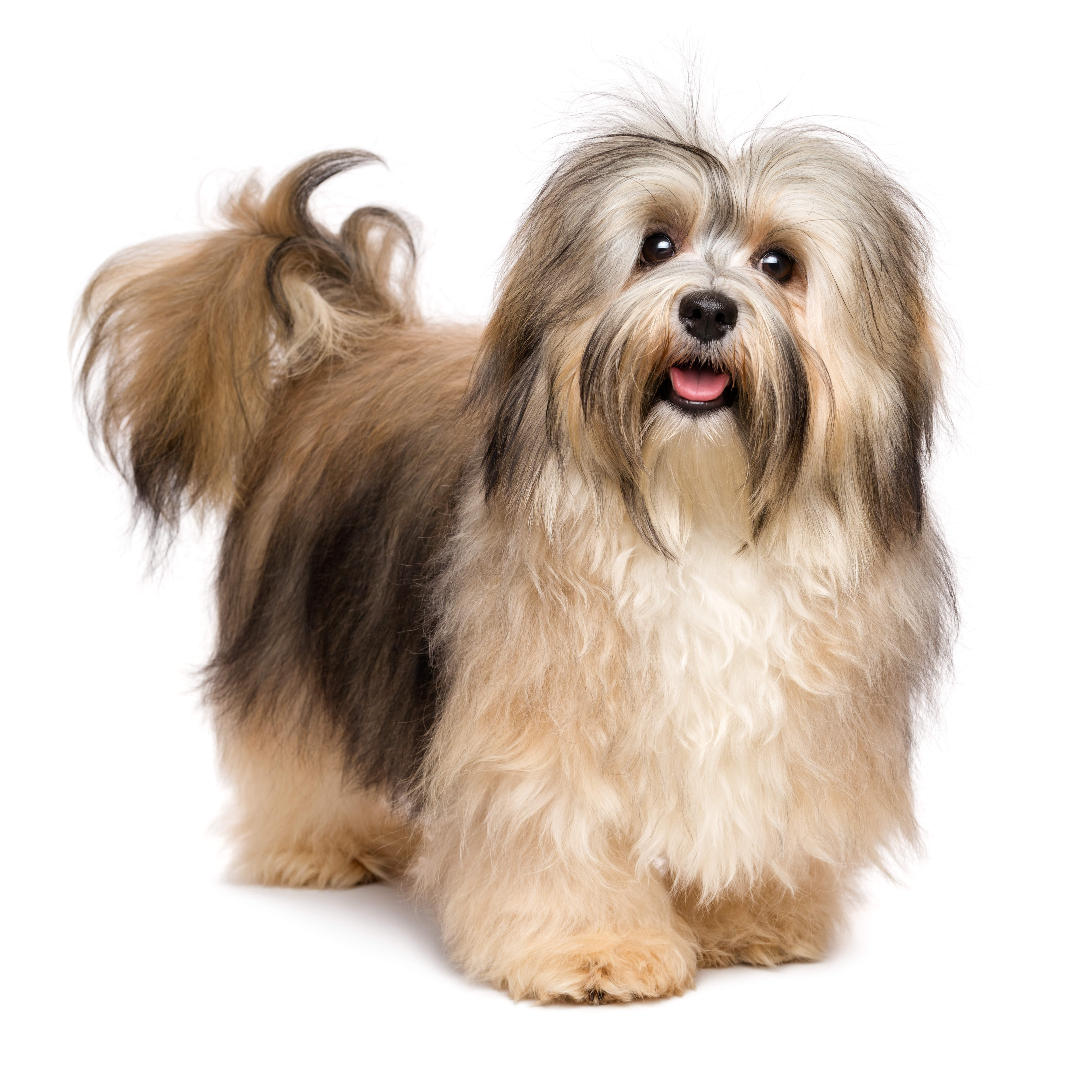 Havanese dog standing in front of a white background