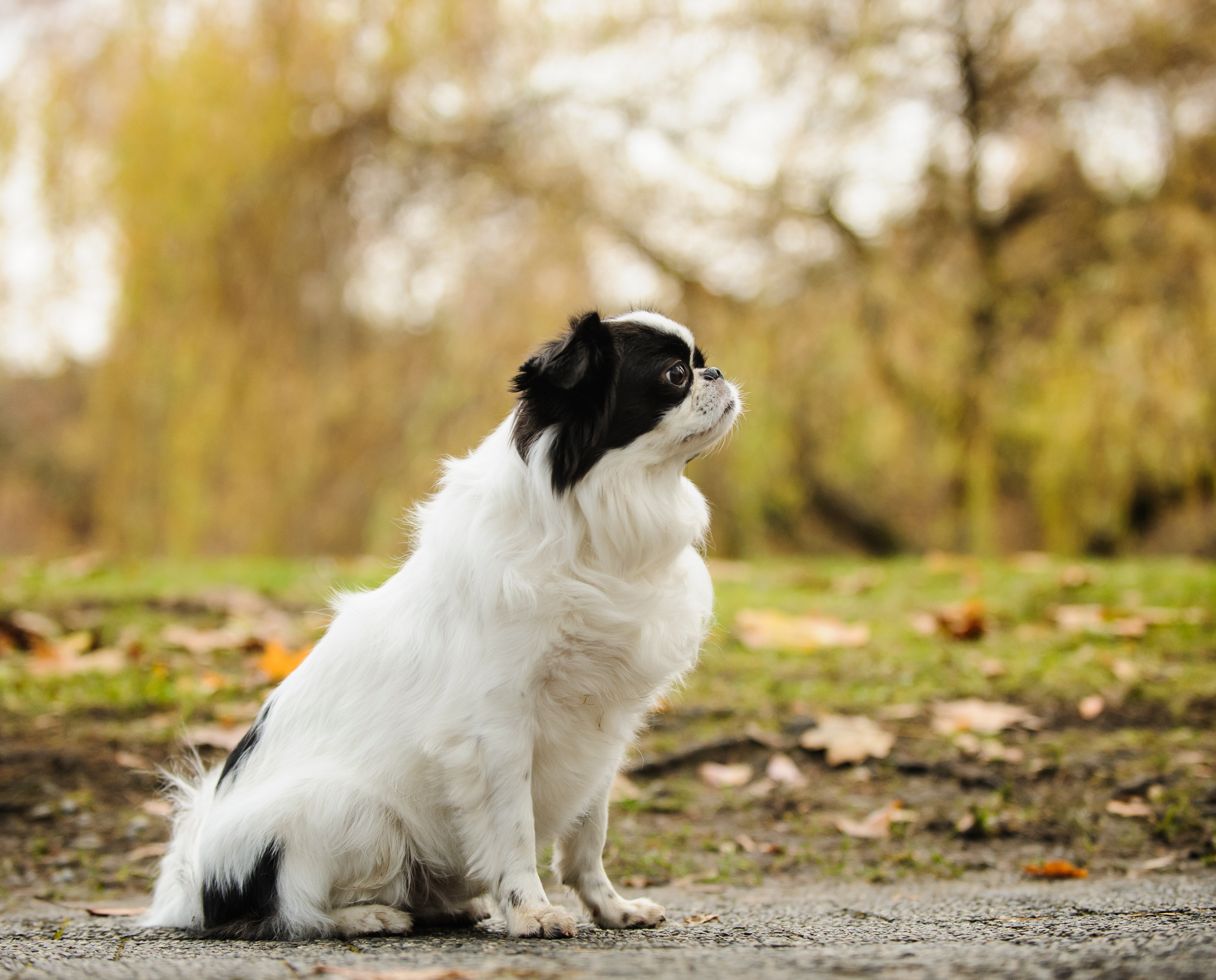 Black and white Japanese chin dog sitting on sidewalk in a grassy park during the fall