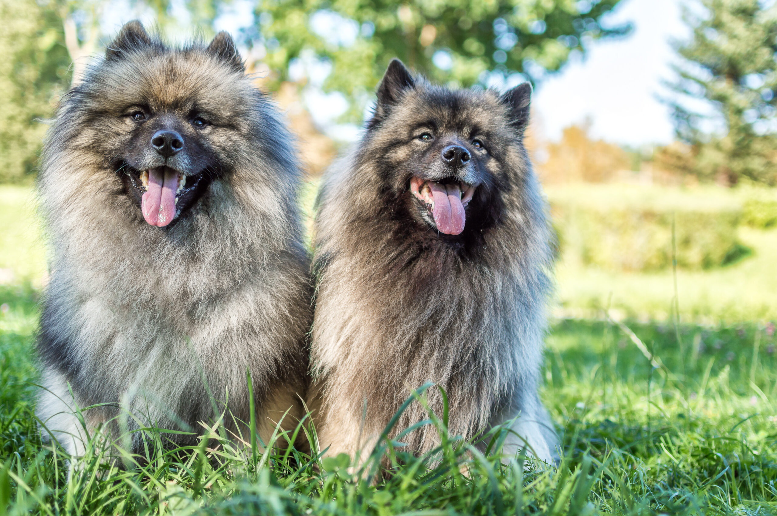 Two Keeshond dogs sitting in a grassy field in the sun