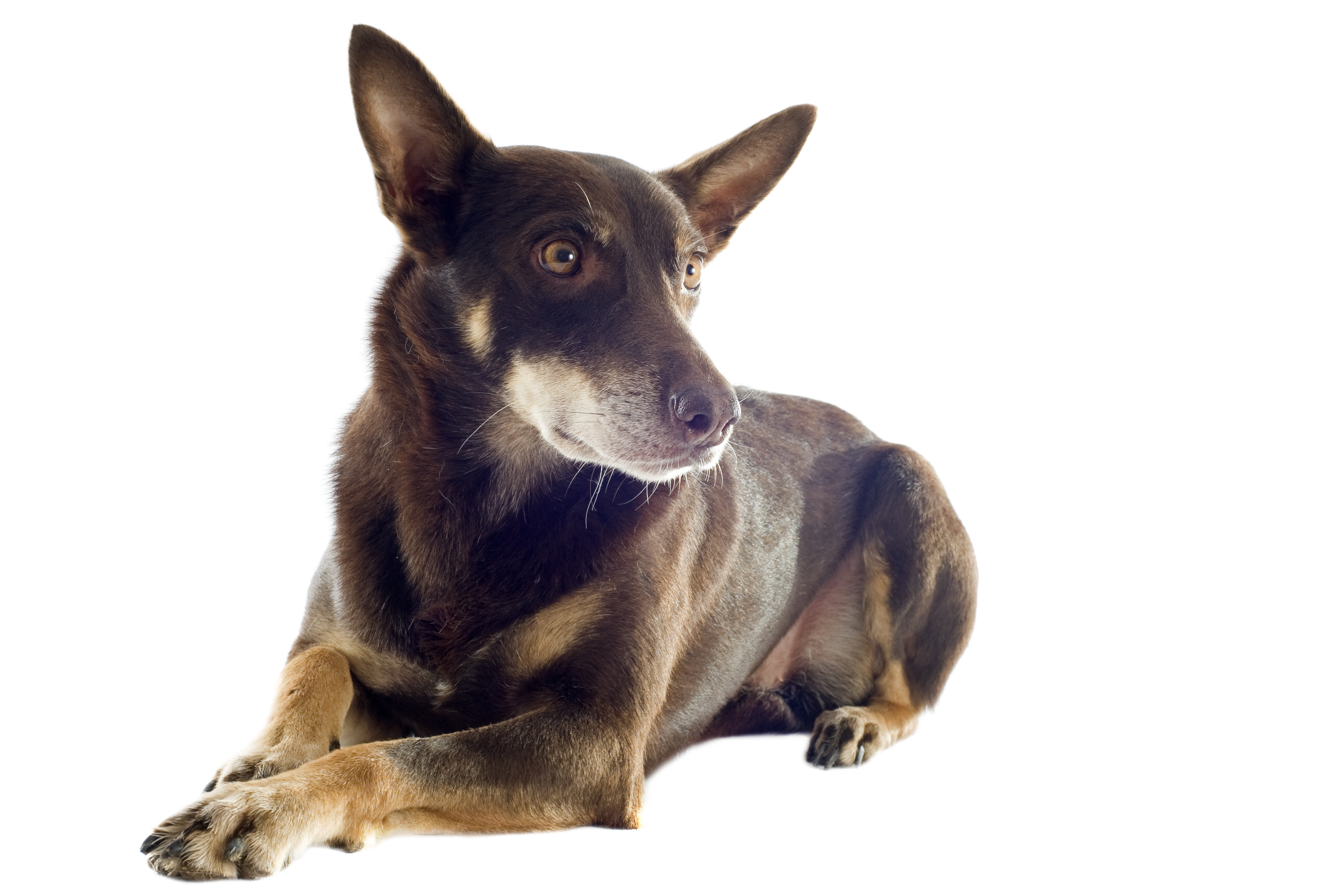 Kelpie dog lying down in front of white background