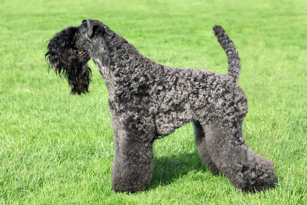 Profile of a Kerry Bluee Terrier standing in the grass