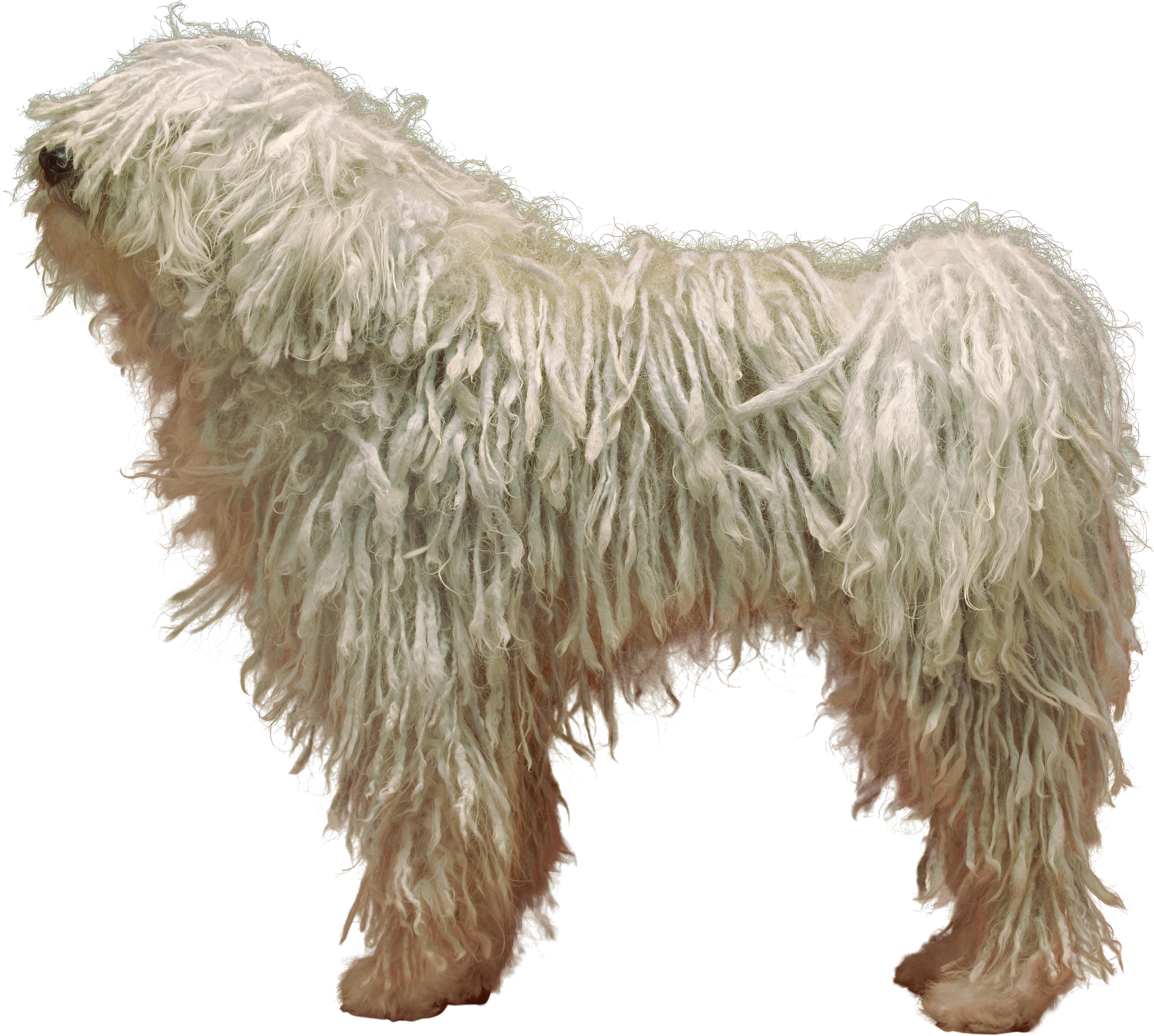 Profile of a Komondor dog standing in front of a white background