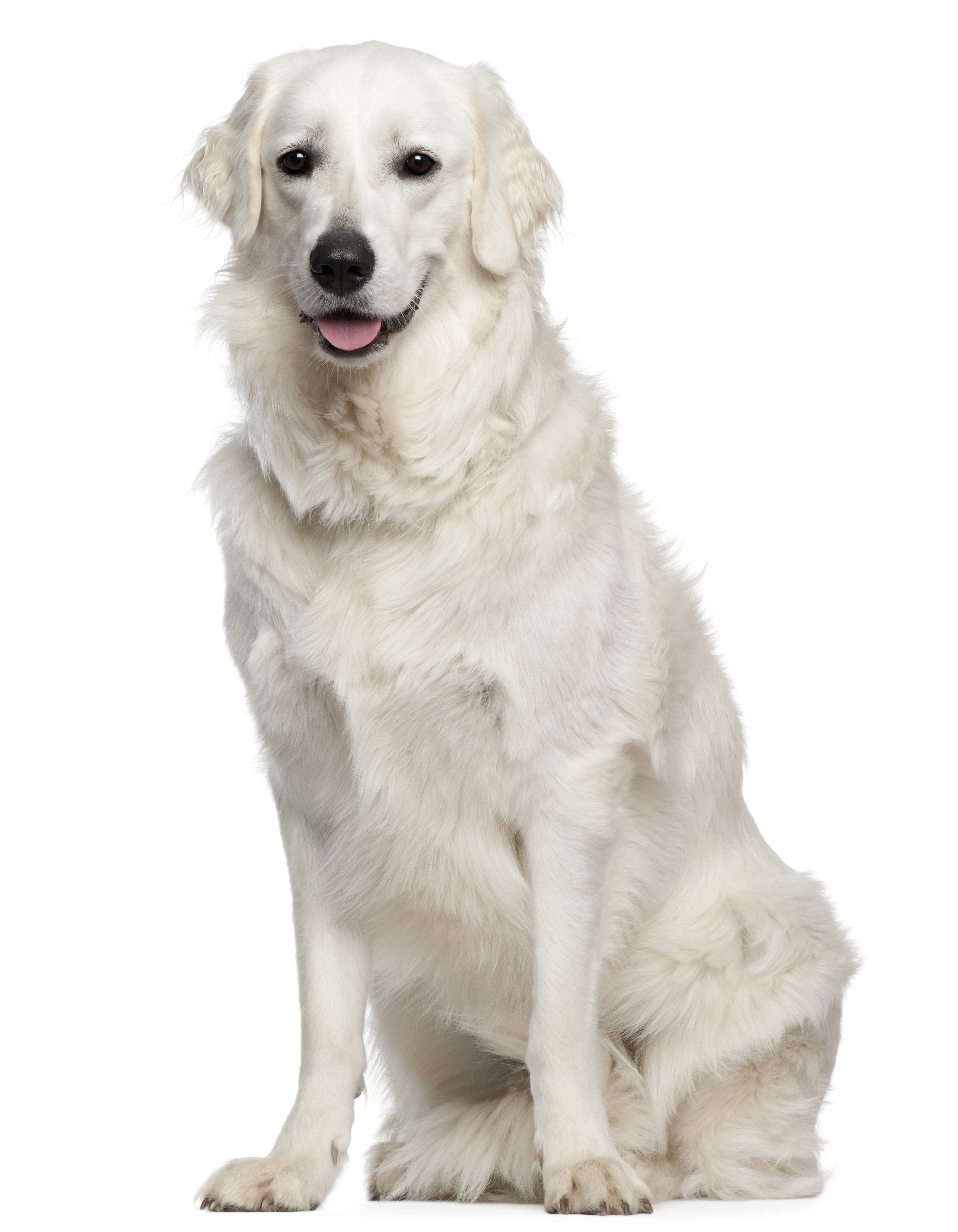 Kuvasz dog sitting in front of a white background
