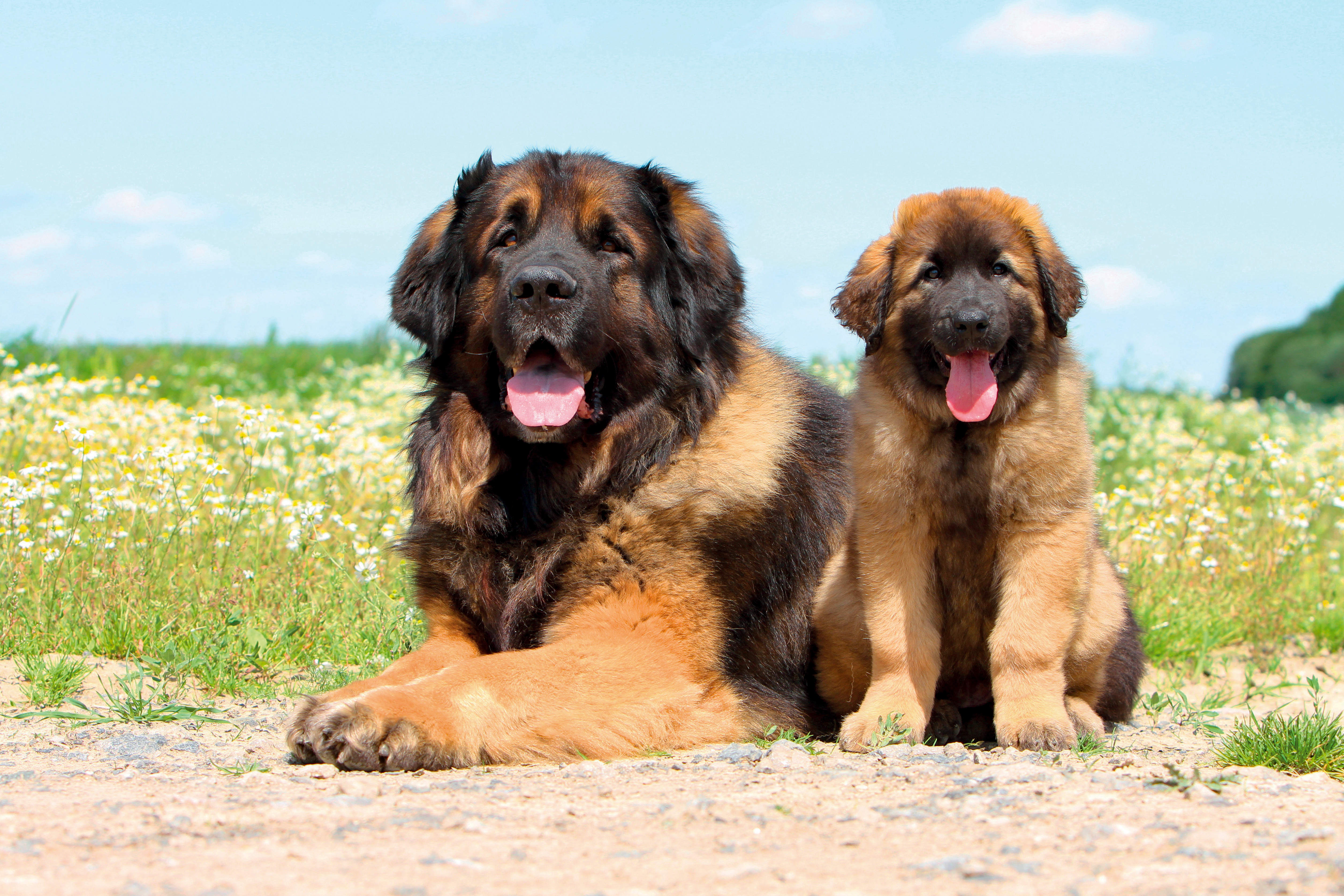 What's your Mutt DNA Leonberger dog adult and puppy sitting in front of a field of flowers