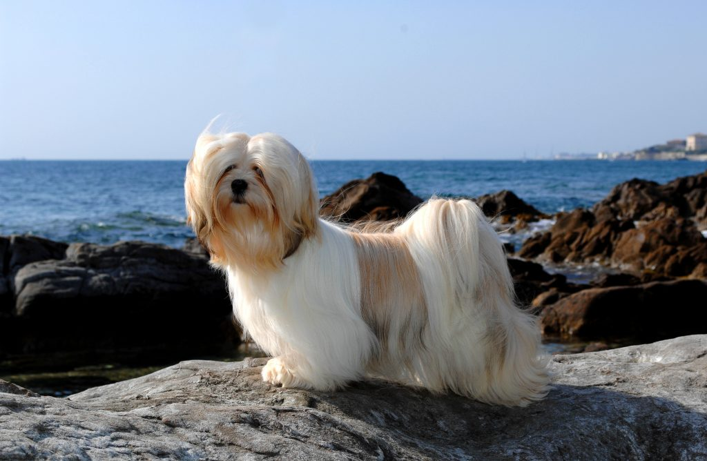 Portrait of a Lhasa Apso dog standing on a rock in front of the ocean.