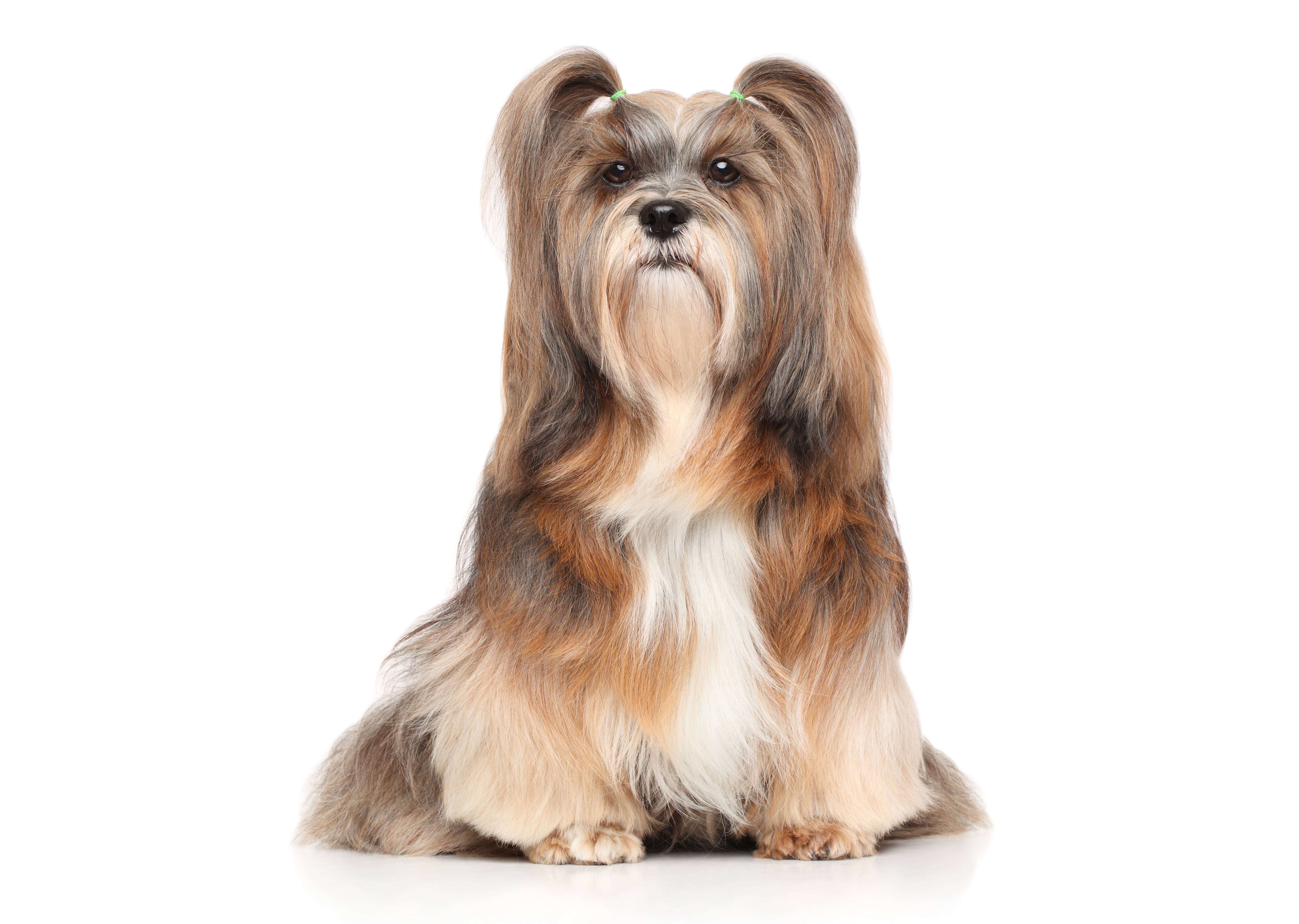 Lhasa Apso dog sitting in front of a white background