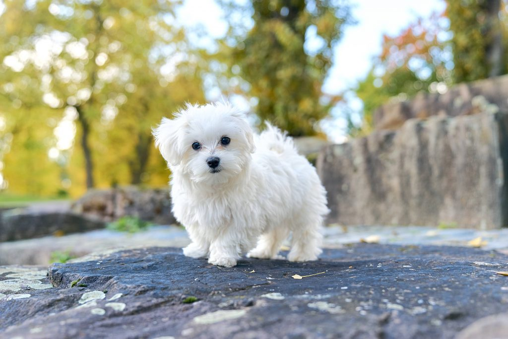 Maltese dog standing on a rock in the woods.