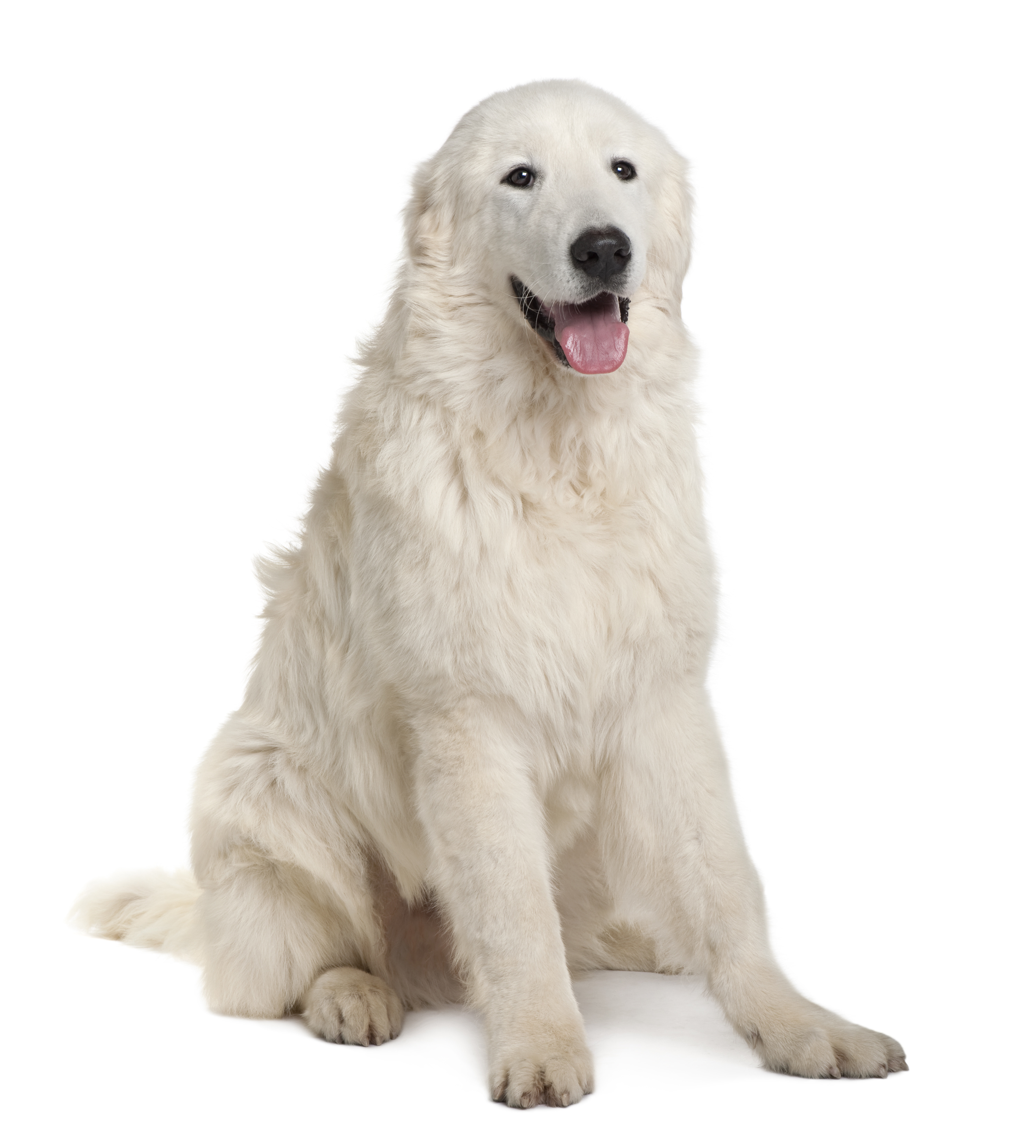 Mastino Abruzzese sitting in front of a white background