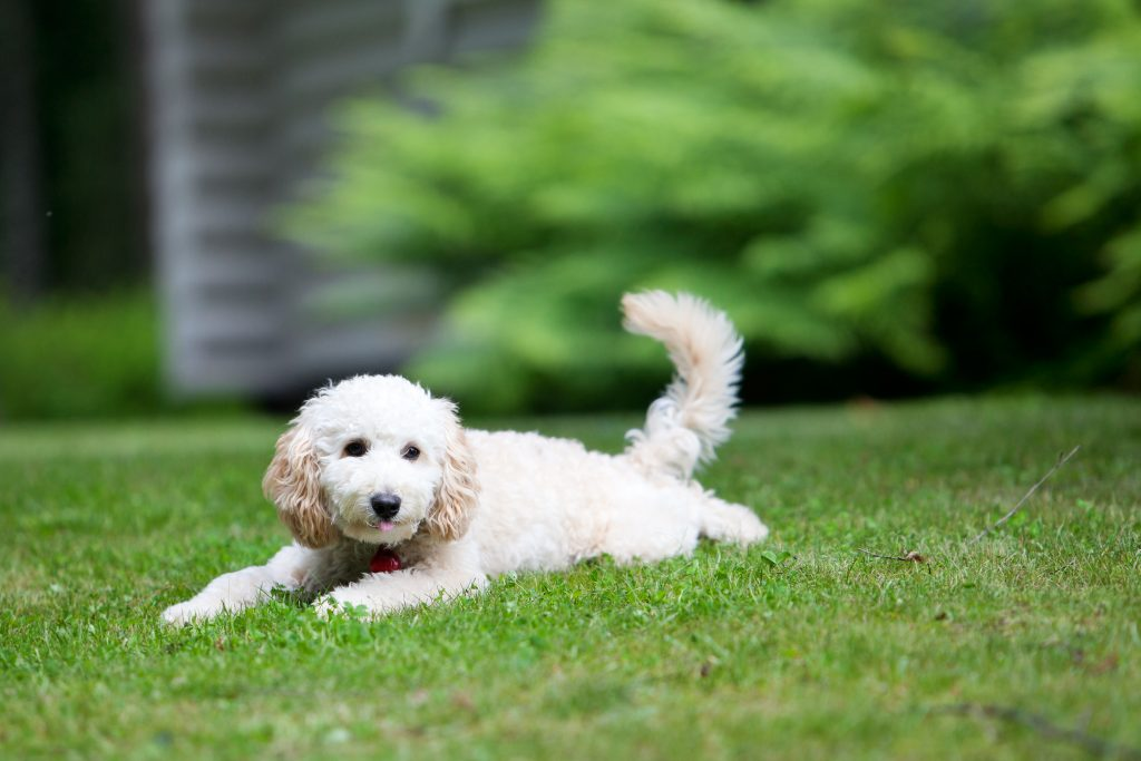 Cream-colored Poodle puppy lying down in grass