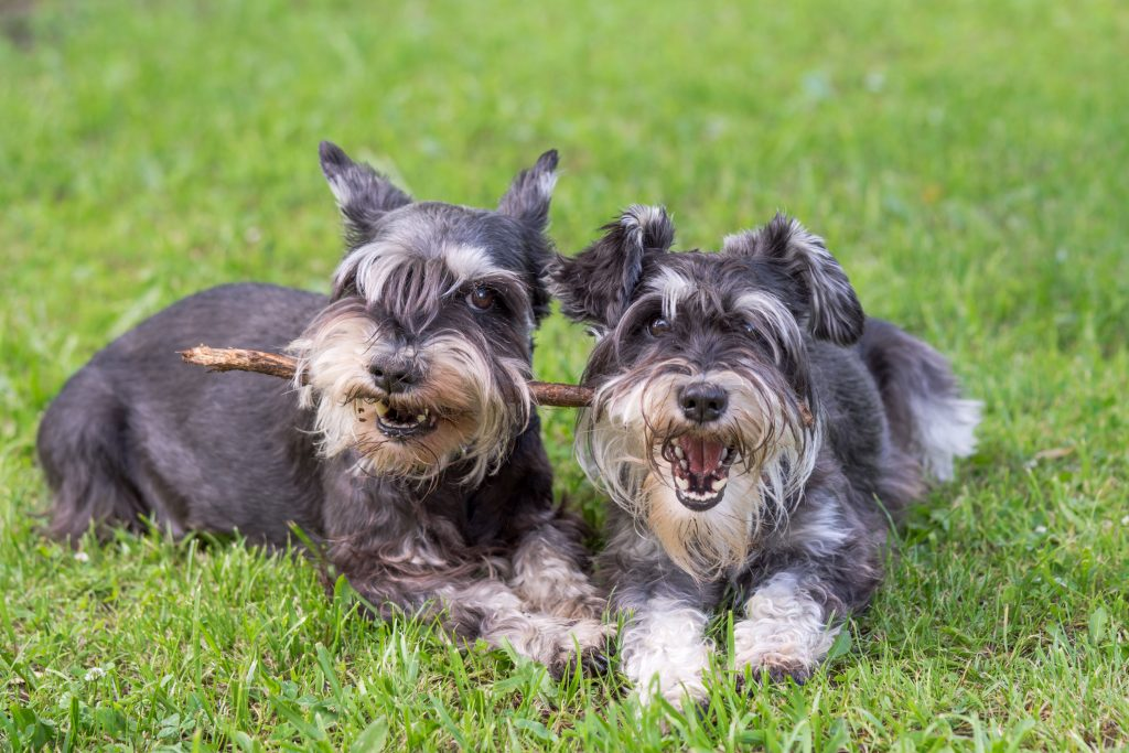 Two Miniature Schnauzer dogs lying down in grass chewing on a stick.