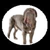 Neapolitan Mastiffcircle