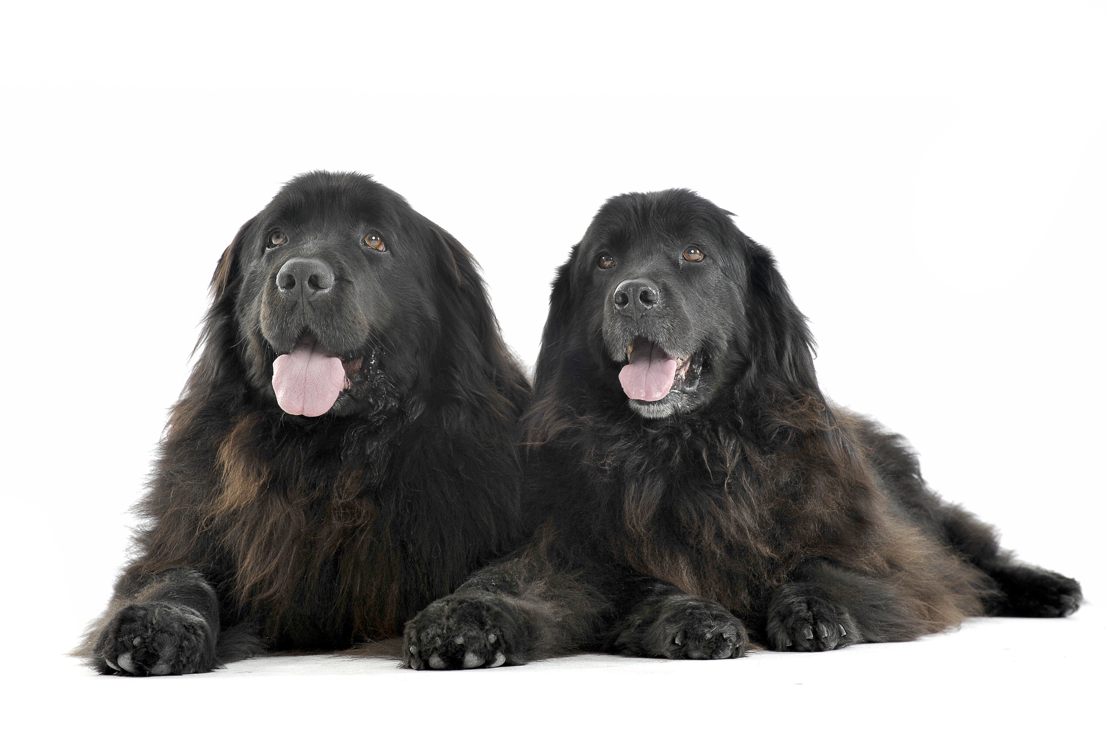 Two Newfoundland dogs lying down in front of white background