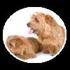 Norfolk Terrier circle