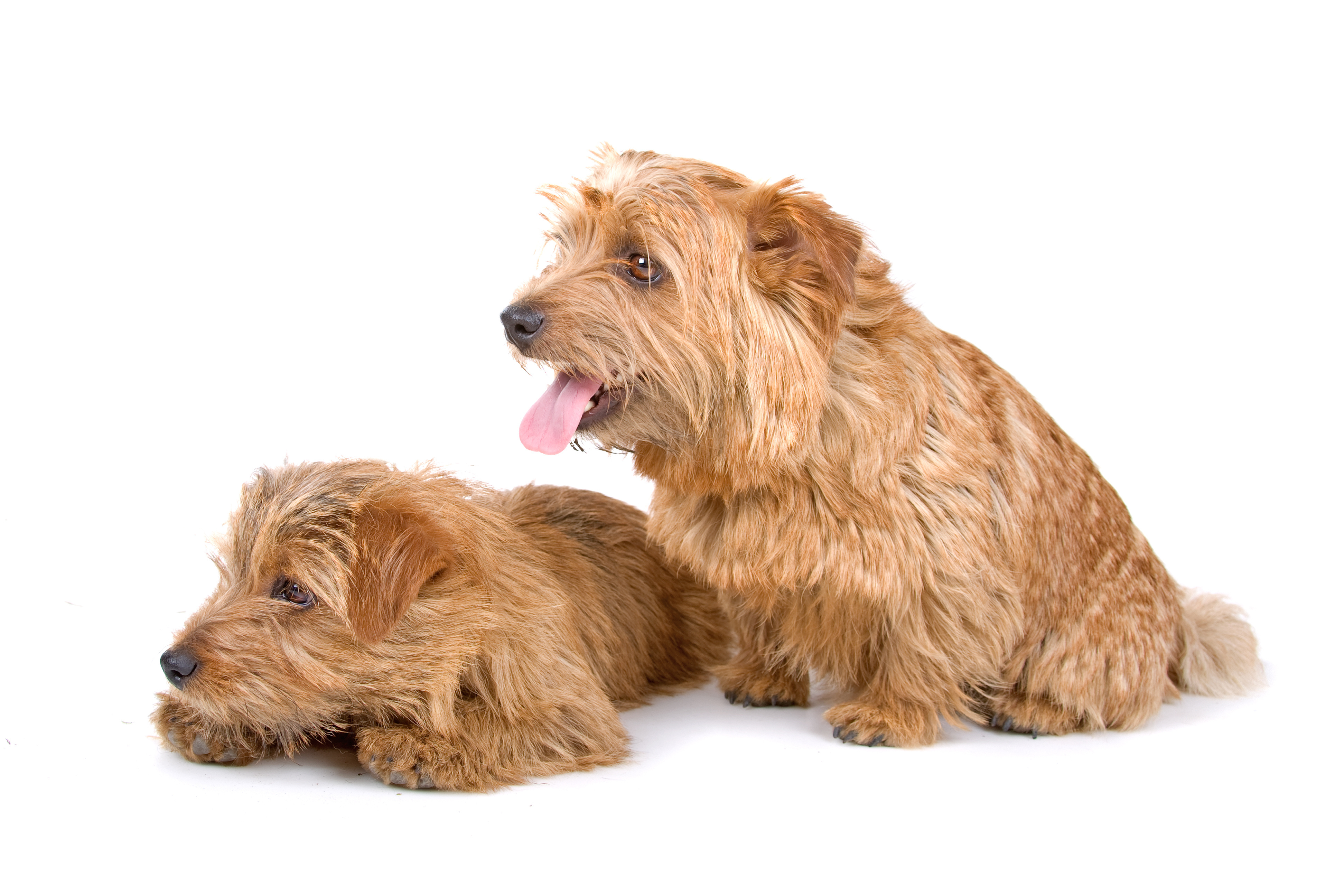 Two Norfolk Terrier dogs sitting in front of white background