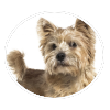 Norwich Terrier circle