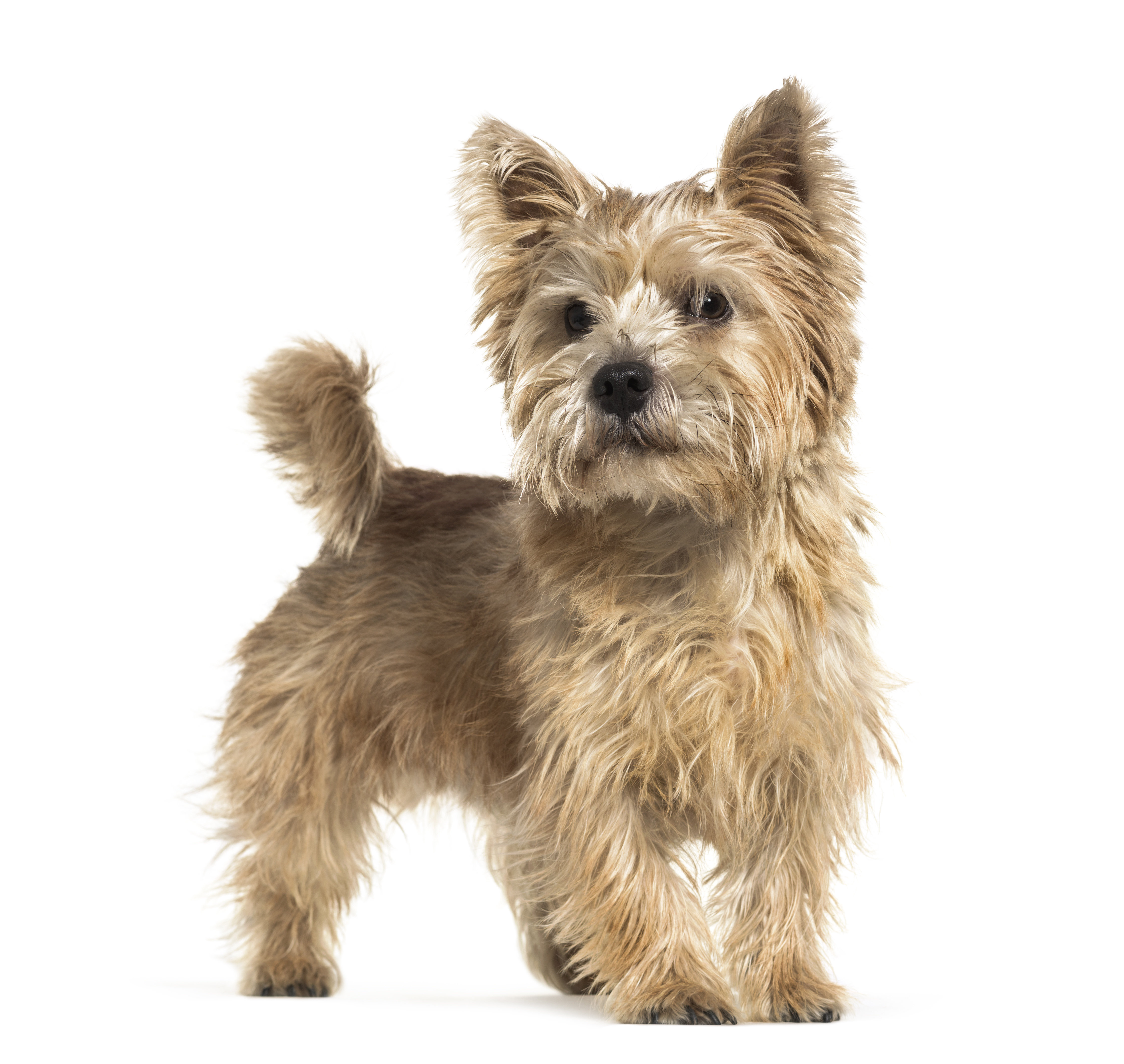 Norwich Terrier standing in front of a white background