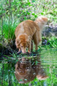 A Nova Scotia Duck Tolling Retriever at the water's edge in a forest.