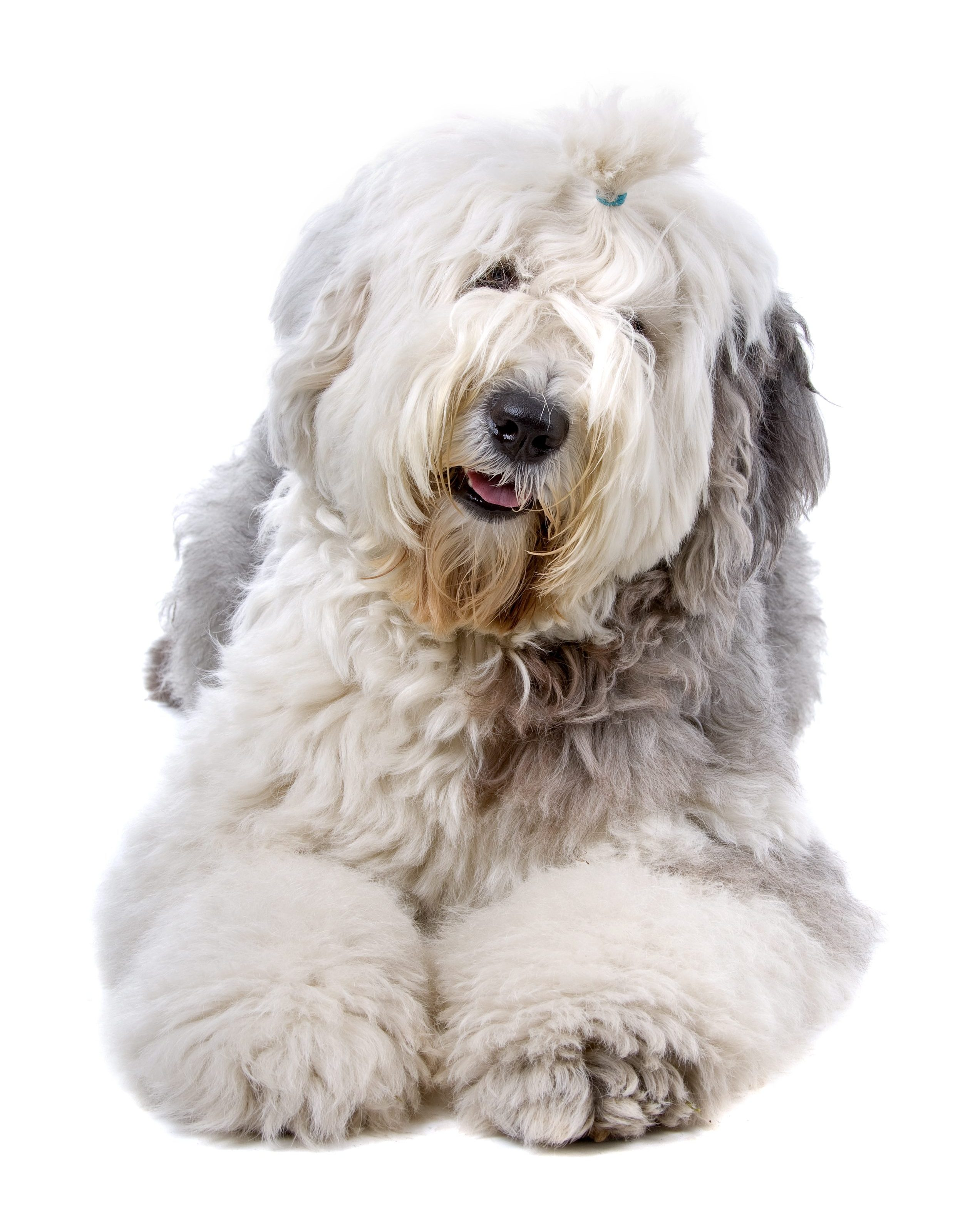 Old English Sheepdog lying down in front of white background