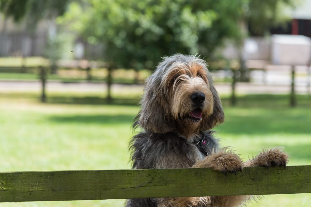 Otterhound dog putting its paws up on fence in front of a grassy field