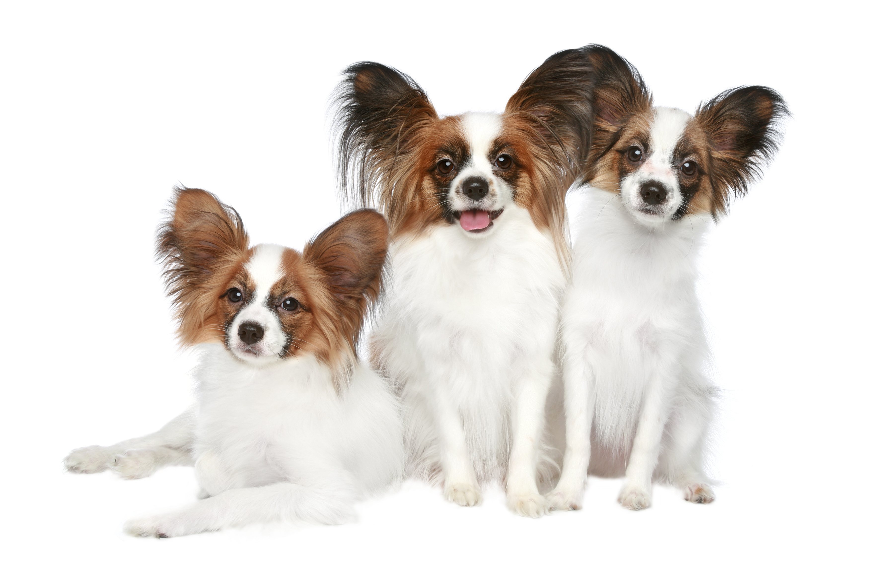 Three Papillon dog puppies in front of white background