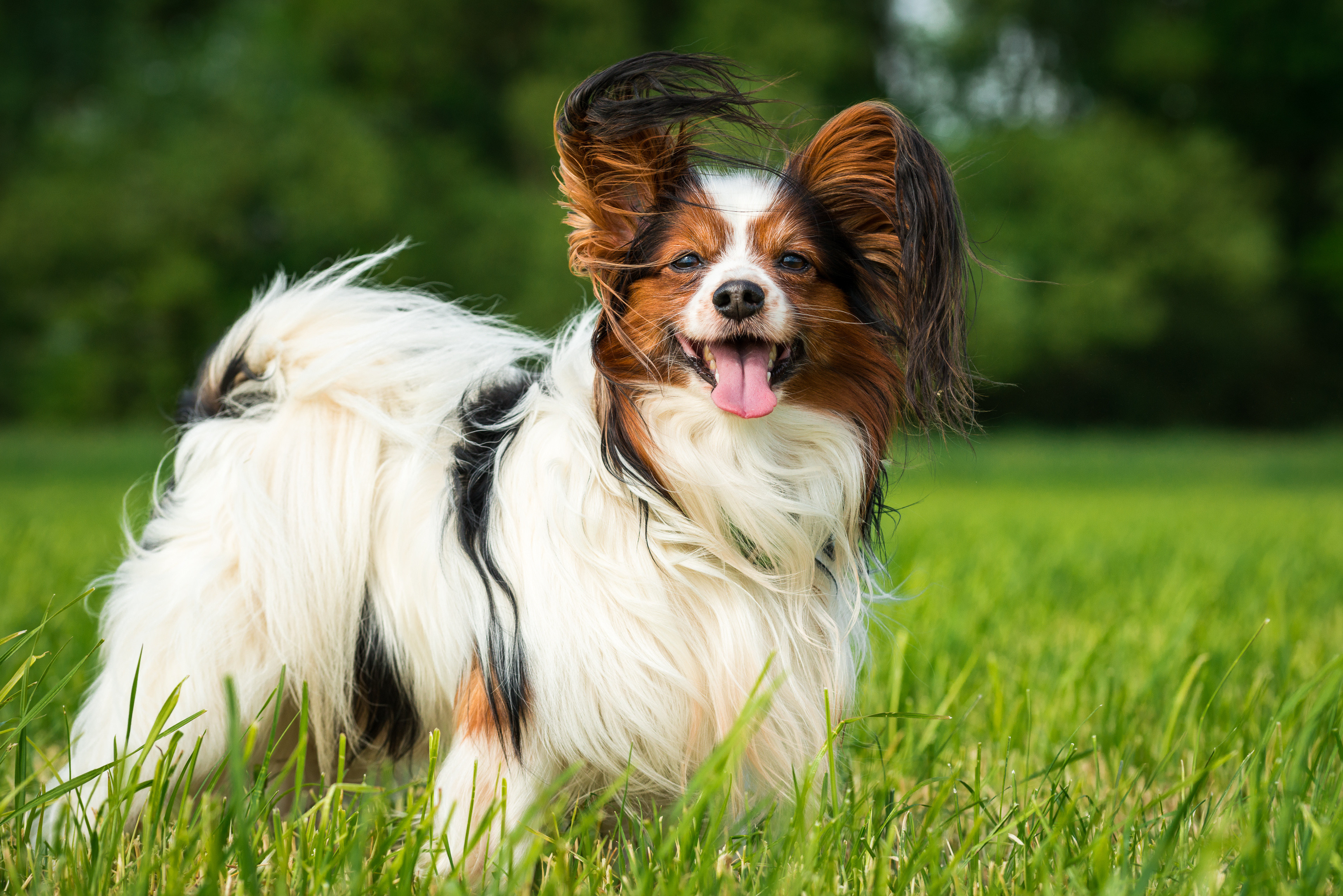 What's your Mutt DNA Brown, black, and white Papillon dog standing in a grassy field with its tongue out