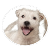 Parson Russell Terrier circle