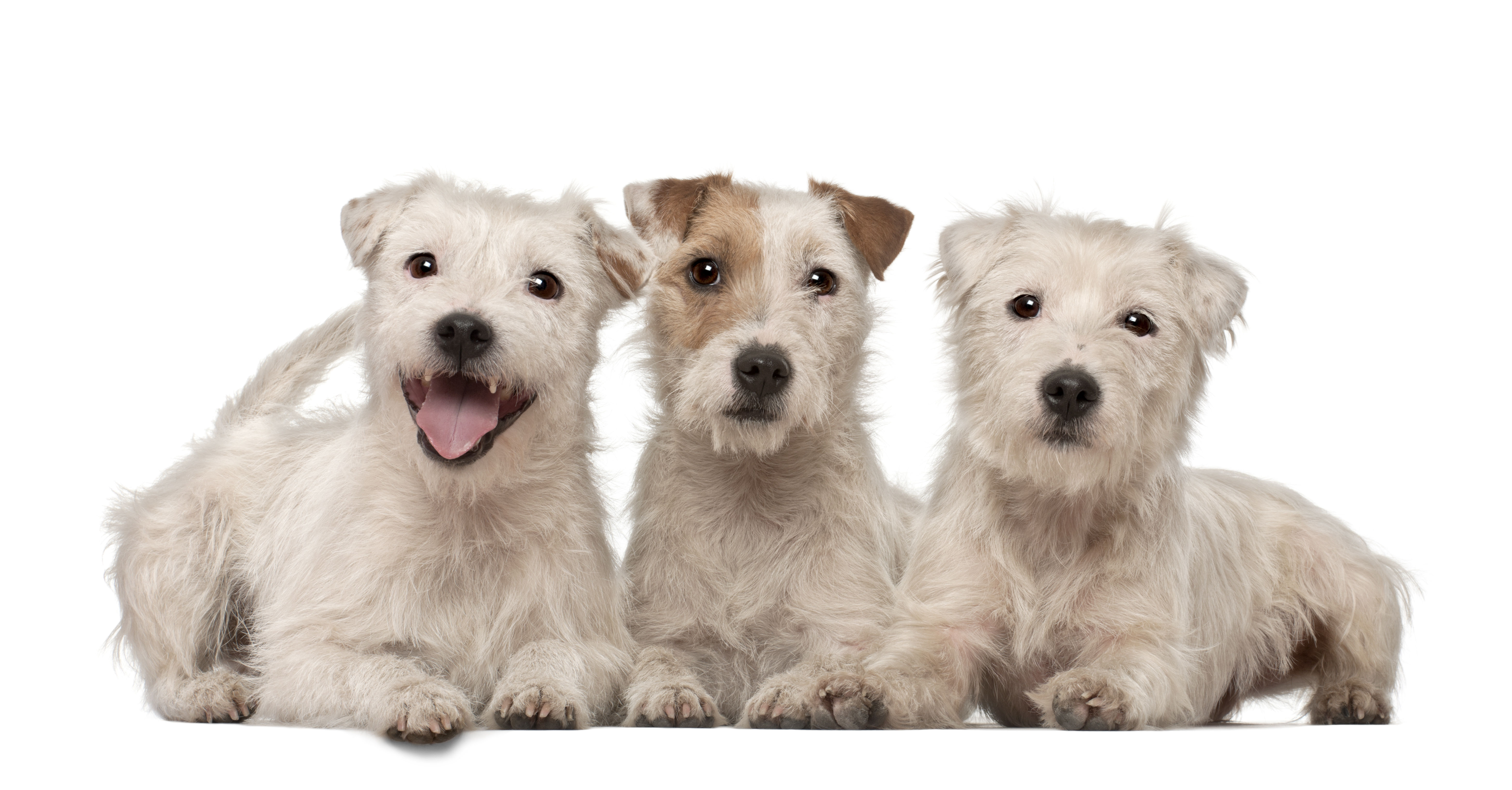 Three Parson Russell Terriers lying down in front of white background