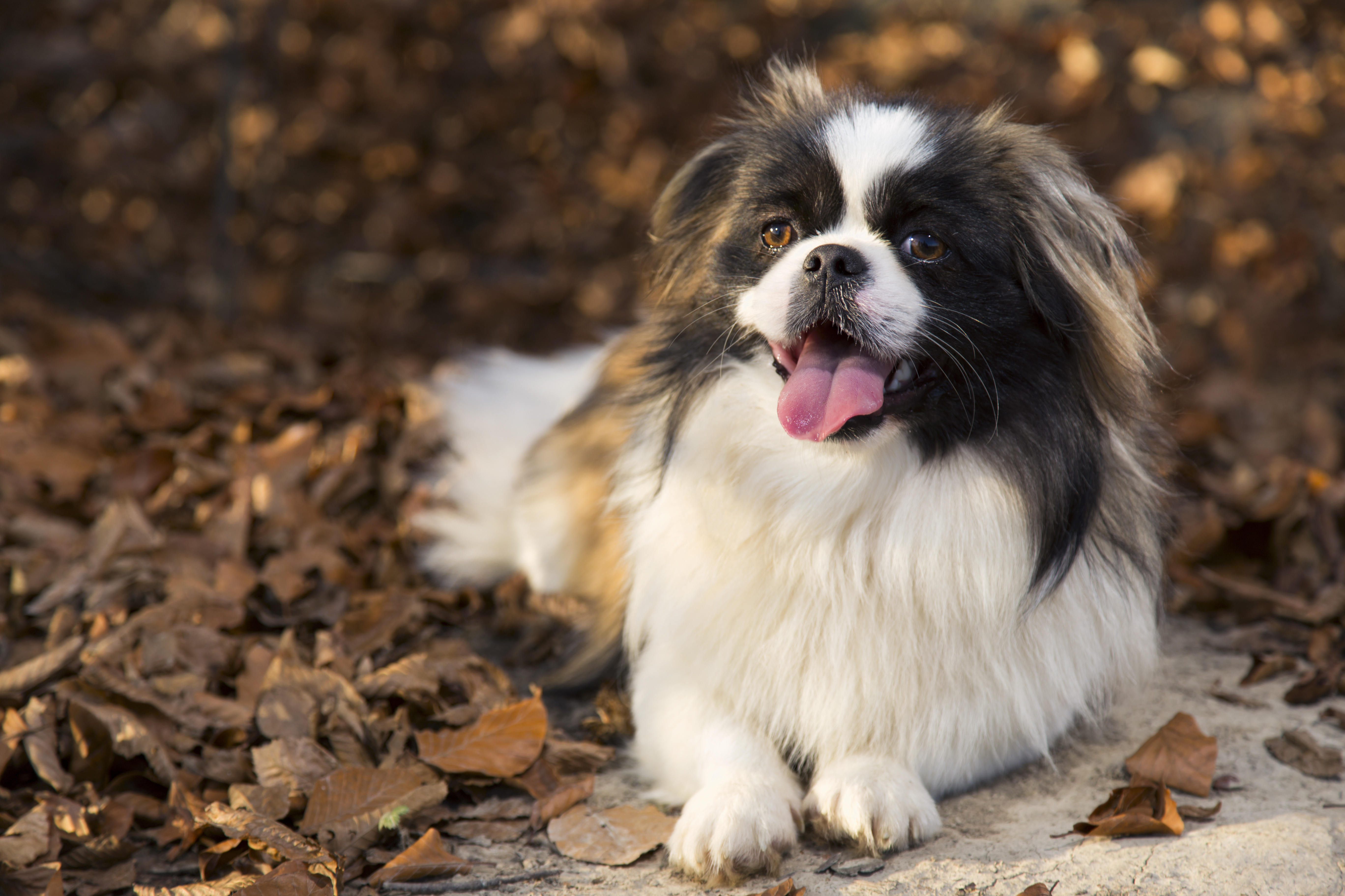 What's your Mutt DNA Brown and white Pekingese dog lying on ground covered in fall leaves