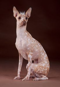 A hairless Peruvian Inca Orchid in the studio against a brown background.