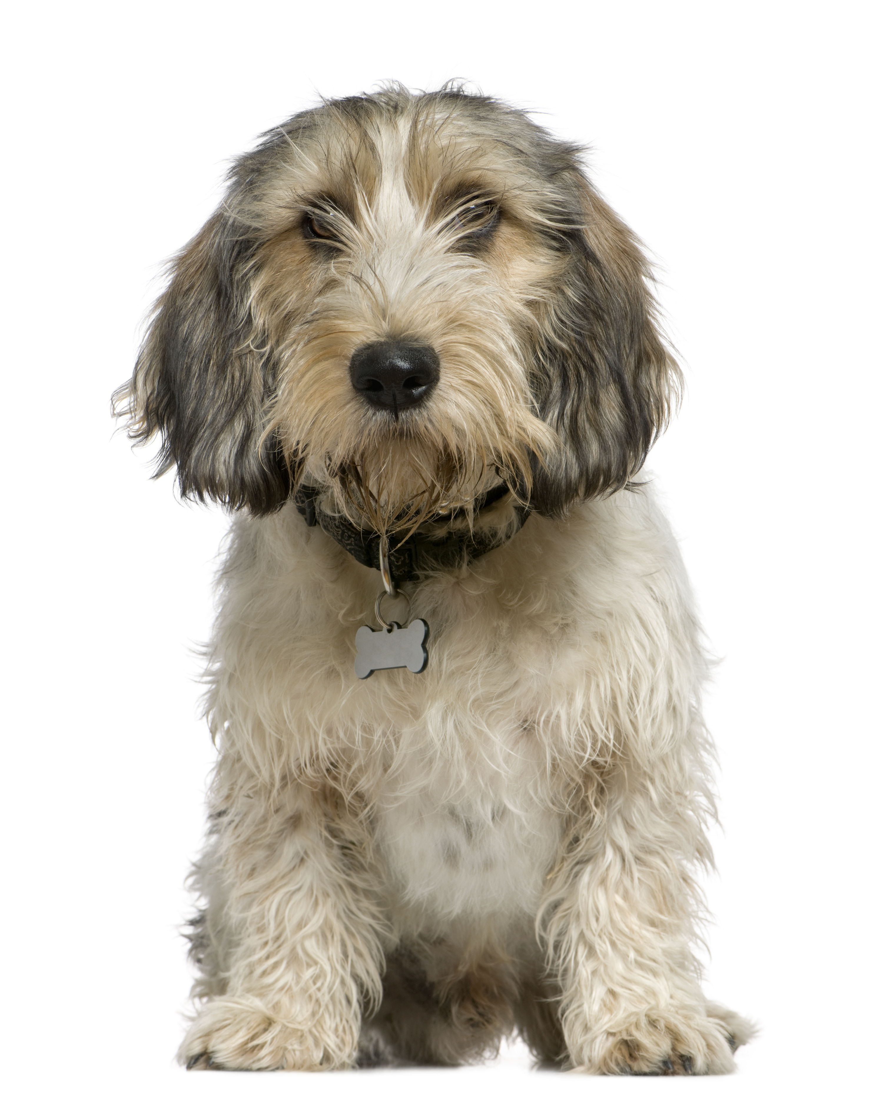 Petit Basset Griffon Vendeen dog sitting in front of white background