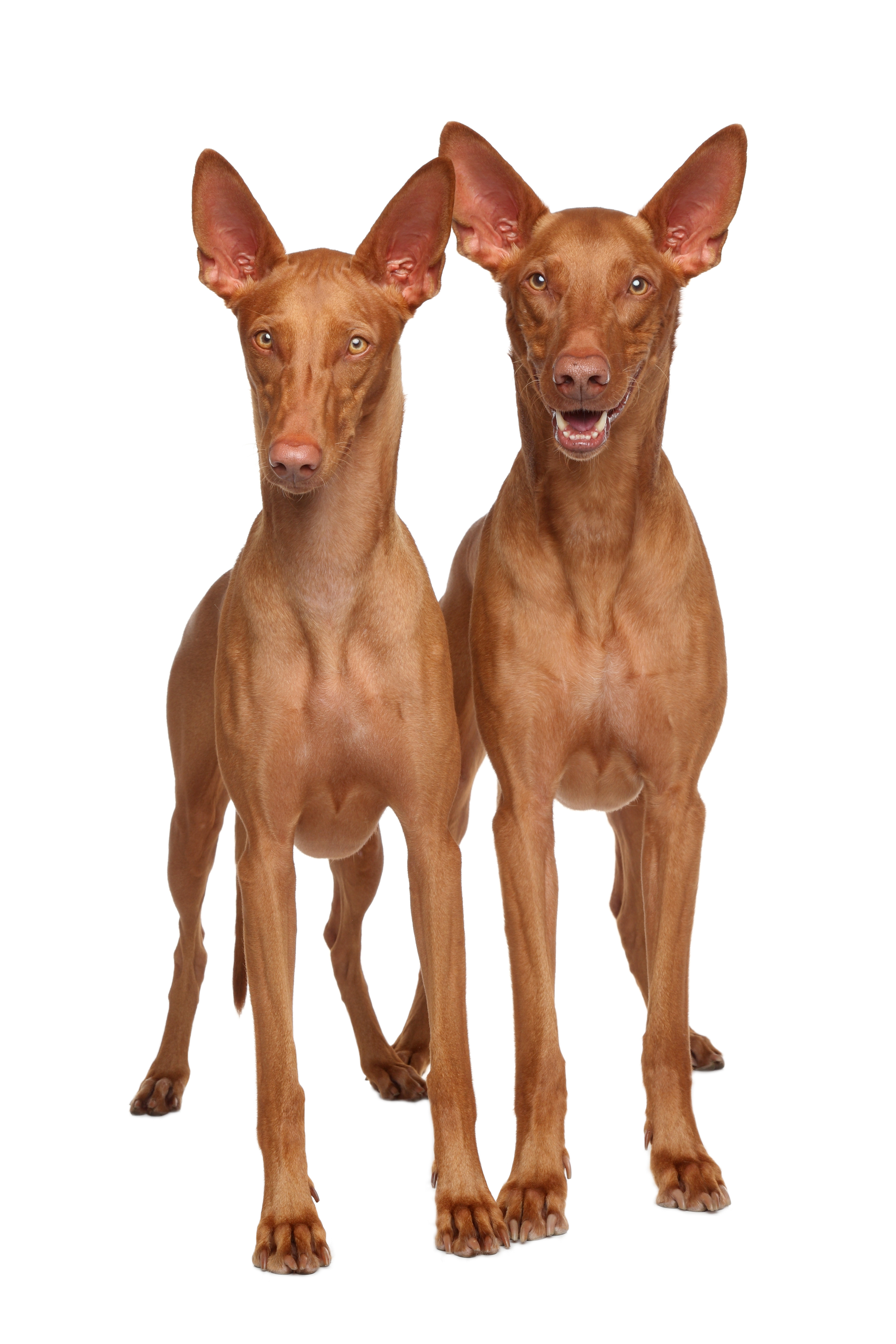 Two Pharaoh Hounds on white background