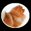 Pomeranian circle