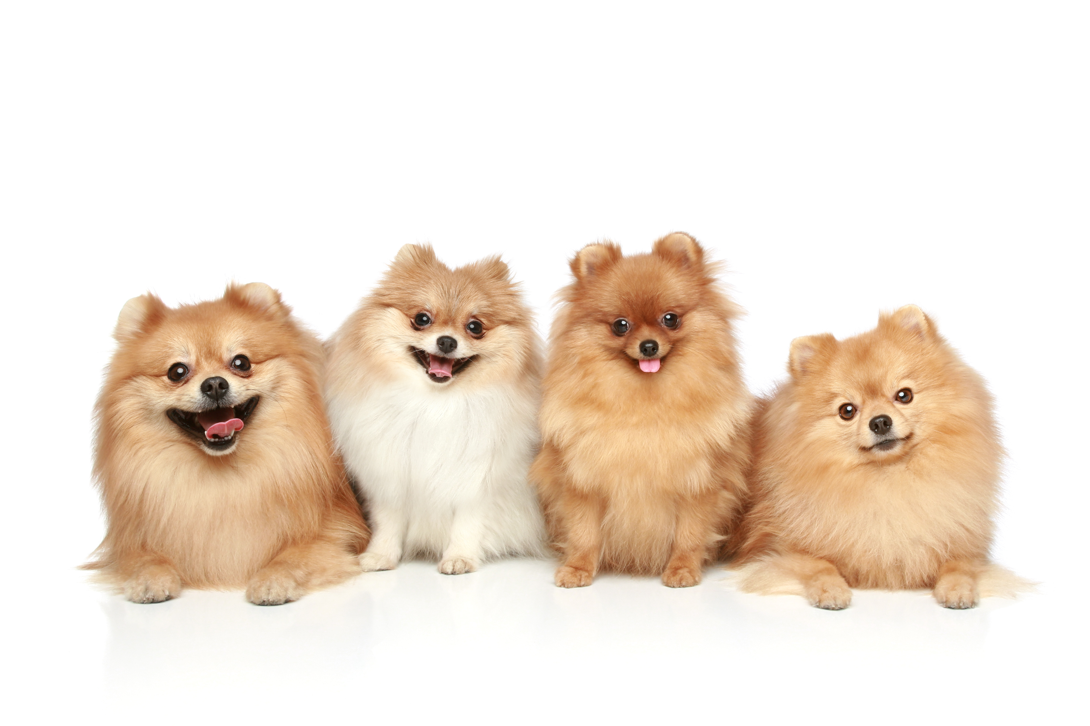 Four Pomeranian dogs sitting in front of white background