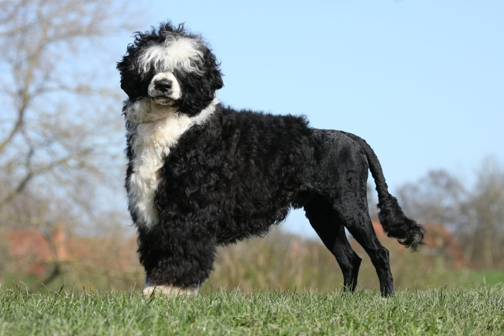 Portuguese Water Dog standing in a grassy field with a half shaved cut.