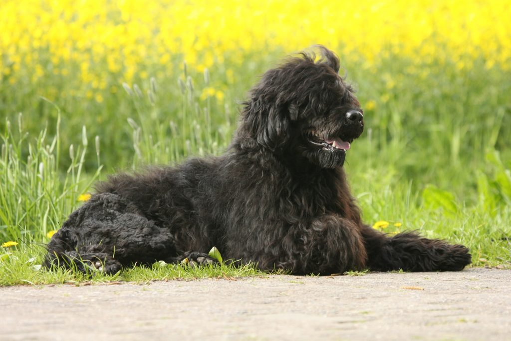 Portuguese Water Dog lying down in front of field of flowers