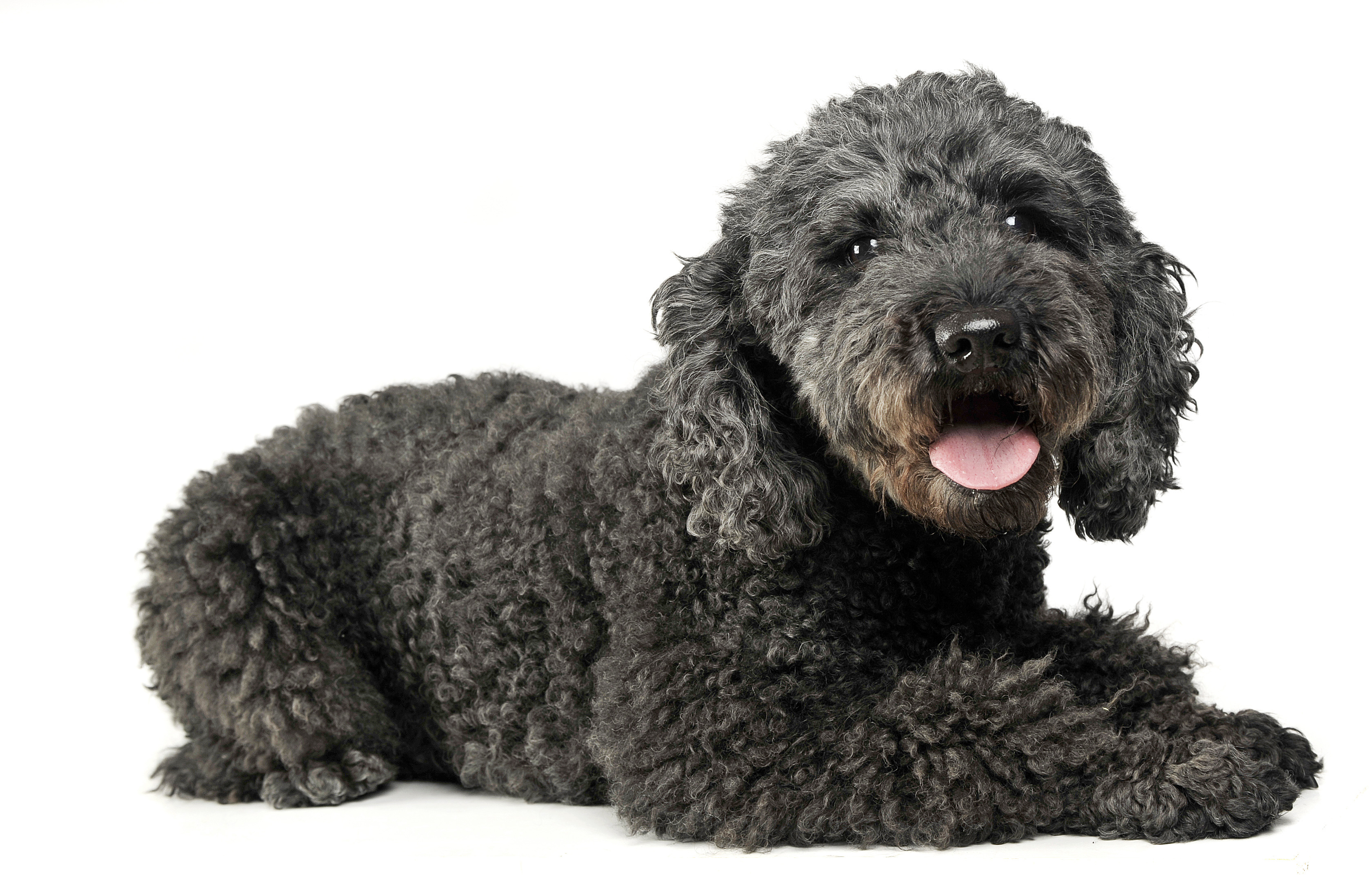 Pumi puppy laying down in front of white background