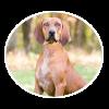 Redbone Coonhound circle