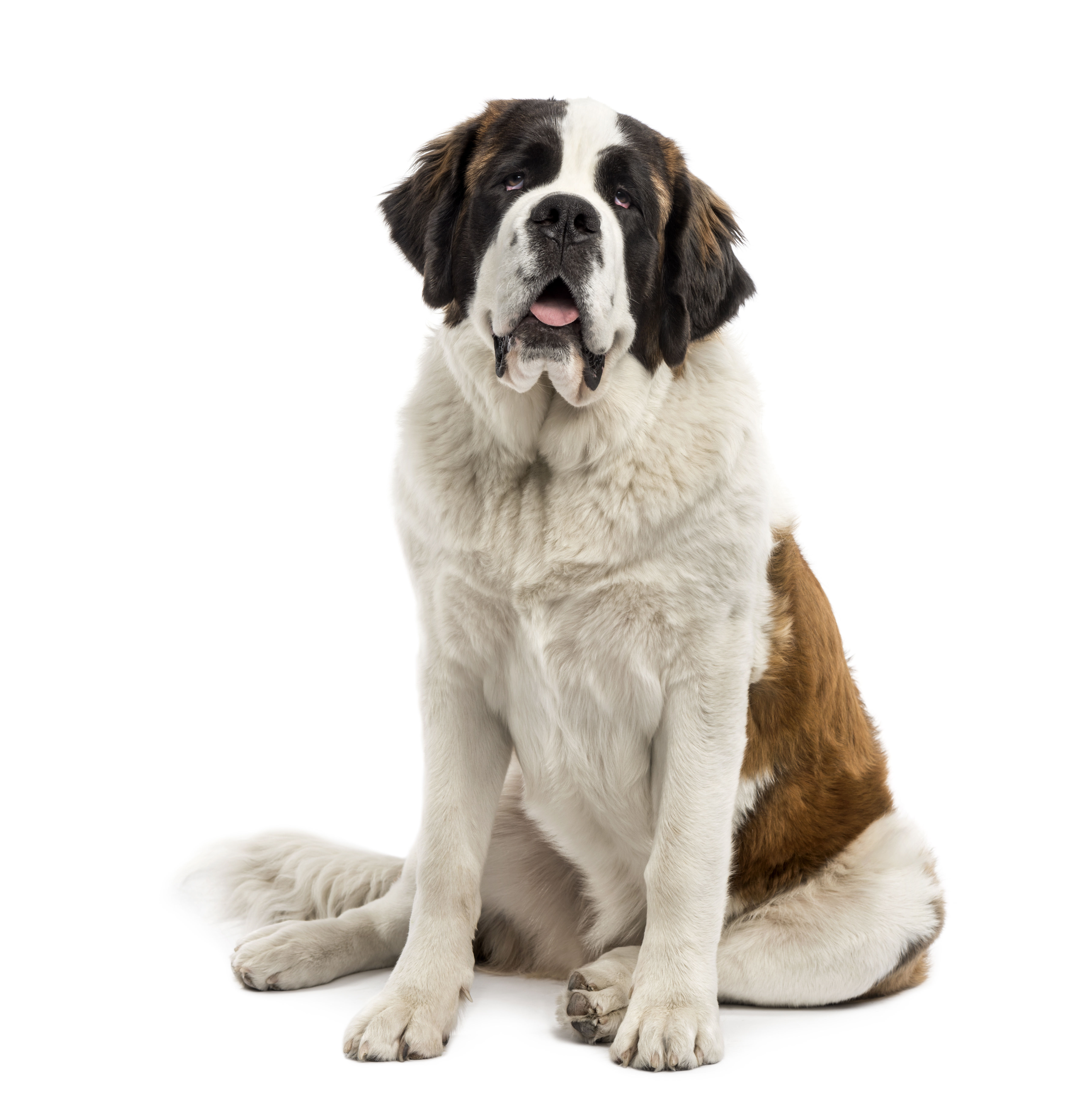 Saint Bernard dog sitting in front of white backgroud