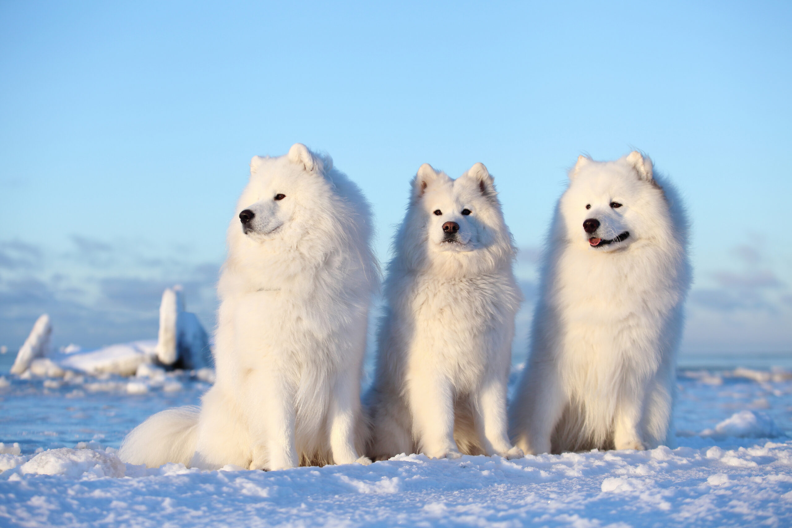 Three Samoyed dogs sitting in the snow in front of a blue sky