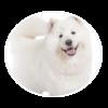 Samoyed circle