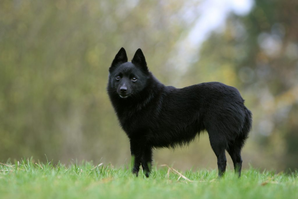 Schipperke dog standing in field.