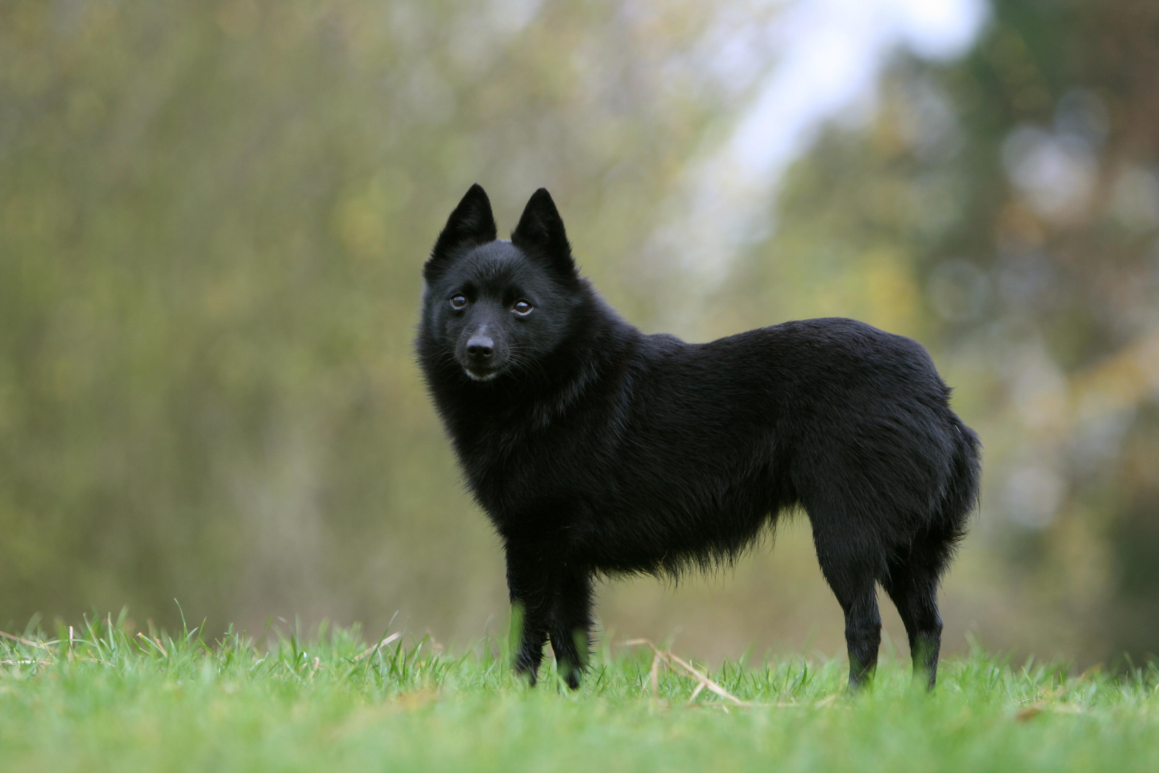 Schipperke dog standing in field.